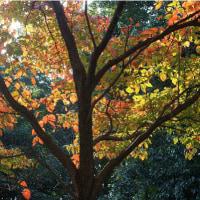 柿紅葉、蔦紅葉、満天星紅葉など