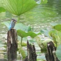 カワセミ~蓮の緑に佇む~