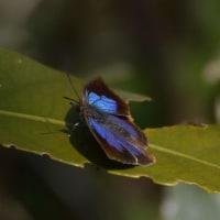 ムラサキシジミ 【紫小灰蝶】