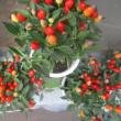 トウガラシの鉢の入荷