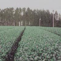 日本一早い鹿児島新茶情報
