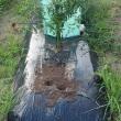 鶏頭苗の定植。