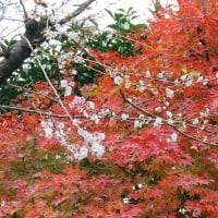 熊野神社の冬桜、猫の目線、そして広東橋が交通止めになった…