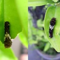 アゲハの幼虫、ナミアゲハとクロアゲハ