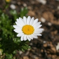庭のお花達 バルボコジューム(ペチコート水仙)他