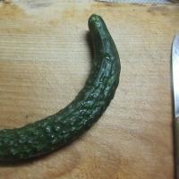 初収穫「スーヨー」キュウリ
