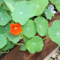 金蓮花(ナスタチウム)初開花