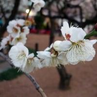 東風吹かば匂いおこせよ梅の花