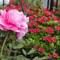 庭に咲いた牡丹・聖代