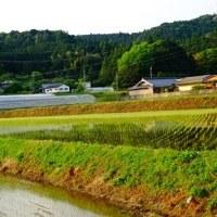 * rice field *