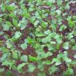 水稲マットとカルチャーマットでの育苗