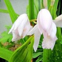 紫蘭(しらん)という花