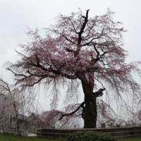桜めぐり 円山公園の枝垂れ桜