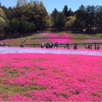 心地良いみどり   秩父羊山公園  芝桜の丘