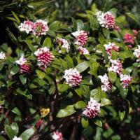 咲き出した沈丁花