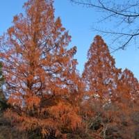 """思いがけない """"紅葉の美""""を奈良でも発見!・・・「メタセコイア」&「モミジ」"""