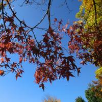 ◇植栽された樹木は紅葉が早いようです。