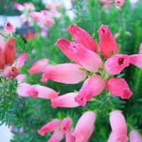 季節の花「エリカ」