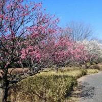 昭和記念公園 花便り 梅 2月11日