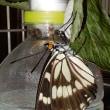 ゴマダラチョウの幼虫が蛹化・蛹が羽化