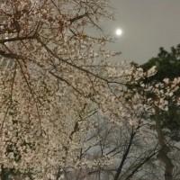 朧月夜に桜