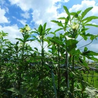 白菜を定植し大根の種まきをする