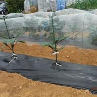 ツルインゲン初収穫