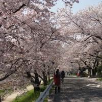 白川、高瀬川と夜桜