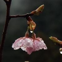 庭の河津桜