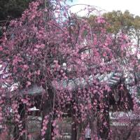 屯倉(みやけ)神社の枝垂れ梅が見頃 2 (大阪府松原市三宅)