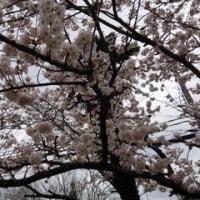 待ちかねた桜の開花