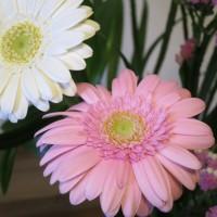 ガーベラの花言葉:神秘