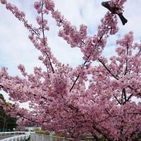 大横川の河津桜と木場公園