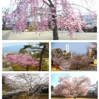 今年最初の花見は舞鶴城(甲府城跡)公園から!(H29.4.6)