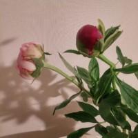 リシマキアと芍薬
