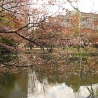 赤レンガ庁舎とオオヤマ桜