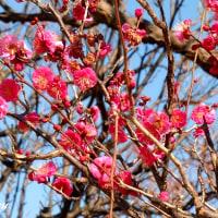 「かにが沢公園」の紅梅&白梅が開花速度上げてきた!!