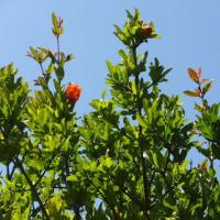 珍しく柘榴ザクロの花がいくつか咲いています。