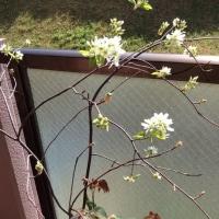 今日のベランダのバラたち