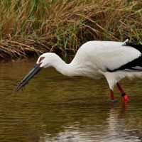 湿地で採餌(モクズガニを食べるコウノトリ):コウノトリJ0067の観察と滞在記録更新