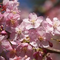 鶴見川土手の桜