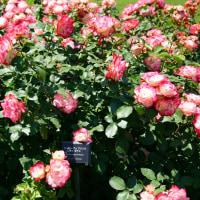 新宿御苑点描 バラ花壇