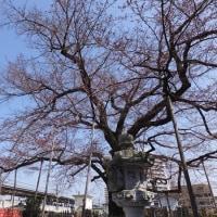 広園寺と真覚寺の桜  2017.3.20