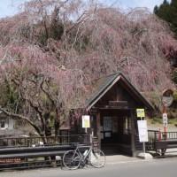 枝垂れ桜の下見に