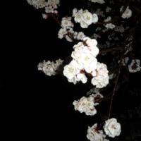 開花宣言、埼玉のほうが早いぞ