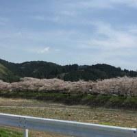 桜 太田川 遠州森町