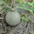 失敗続きのメロン栽培