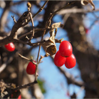 ★老爺柿と山茱萸の実など