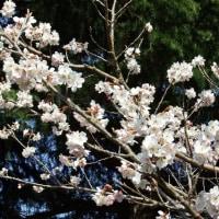 啓翁桜ほぼ七分咲き