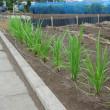 かんかん照りの畑で元気な陸稲(おかぼ)